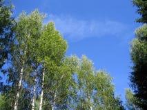Árboles del cielo azul y de abedul Foto de archivo