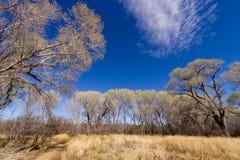 Árboles del Cottonwood del desierto Fotografía de archivo libre de regalías