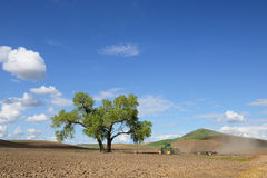 Árboles del Cottonwood del gemelo de Palouse Imágenes de archivo libres de regalías