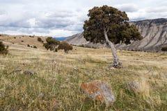Árboles del enebro en Yellowstone Foto de archivo libre de regalías