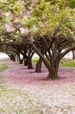 Árboles del flor de cereza Fotografía de archivo libre de regalías