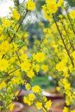 Árboles del flor de Tet los símbolos de los días de fiesta lunares del Año Nuevo Imagenes de archivo