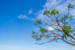 Árboles del Frangipani Fotos de archivo