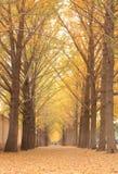 Árboles del Ginkgo foto de archivo