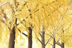Árboles del Ginkgo fotografía de archivo libre de regalías