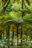Árboles del helecho en un sao Miguel Azores del bosque Imagen de archivo libre de regalías