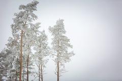 Árboles del invierno con la escarcha blanca Foto de archivo libre de regalías