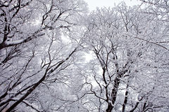 Árboles del invierno con nieve Imágenes de archivo libres de regalías