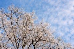 Árboles del invierno contra el cielo azul Fotos de archivo