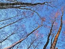 Árboles del invierno en luz de la puesta del sol Foto de archivo libre de regalías