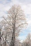 Árboles del invierno en un día frío Fotos de archivo libres de regalías