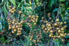 Árboles del Longan Imagen de archivo