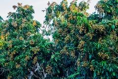 Árboles del Longan Imagenes de archivo