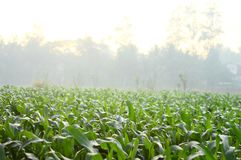 Árboles del maíz en el campo durante la mañana en Java, Indonesia imagenes de archivo