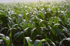 Árboles del maíz en el campo durante la mañana en Java, Indonesia imagen de archivo libre de regalías