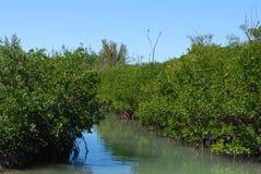 Árboles del mangle Imagen de archivo libre de regalías