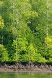 Árboles del mangle Imagenes de archivo