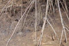Árboles del mangle Fotografía de archivo libre de regalías