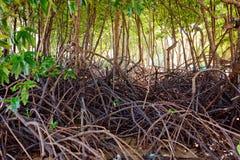 Árboles del mangle Fotos de archivo