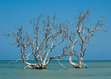 Árboles del mangle Fotografía de archivo