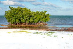 Árboles del mangle y alga marina del Sargasso por la playa del calafate de Caye Foto de archivo