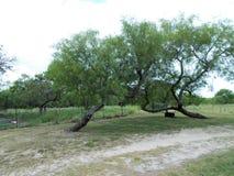 Árboles del Mesquite Imagen de archivo libre de regalías