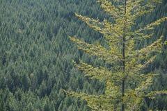 Árboles del noroeste imagenes de archivo