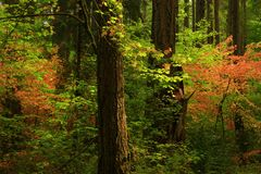 Árboles del noroeste pacíficos del bosque y de la conífera Foto de archivo