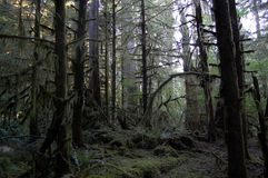 Árboles del noroeste pacíficos de Douglas Fir Fotografía de archivo libre de regalías