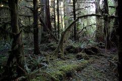 Árboles del noroeste pacíficos de Douglas Fir Fotografía de archivo