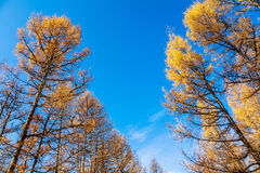 Árboles del otoño Imágenes de archivo libres de regalías