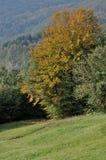 Árboles del otoño, cisa Imágenes de archivo libres de regalías