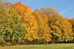 Árboles del otoño con follaje amarillo imágenes de archivo libres de regalías