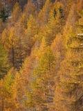 Árboles del otoño de las montañas Fotos de archivo libres de regalías
