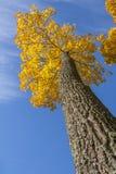 Árboles del otoño del oro en un parque Foto de archivo