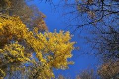 Árboles del otoño en cielo azul Foto de archivo