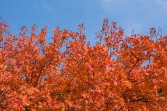 Árboles del otoño Hojas de otoño coloreadas en el parque Imagen de archivo libre de regalías