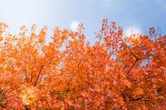 Árboles del otoño Hojas de otoño coloreadas en el parque Fotografía de archivo