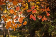 Árboles del otoño Hojas de otoño coloreadas en el parque Fotos de archivo