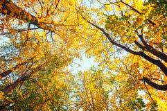Árboles del otoño - los árboles anaranjados del otoño rematan contra el cielo Opinión natural del otoño de los árboles del otoño Fotografía de archivo libre de regalías
