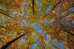 Árboles del otoño que estiran sus coronas al cielo azul claro fotos de archivo