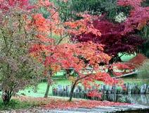 Árboles del palmatum de Acer Foto de archivo