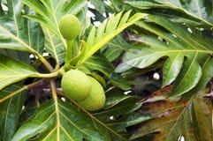 Árboles del pan en el árbol Foto de archivo libre de regalías