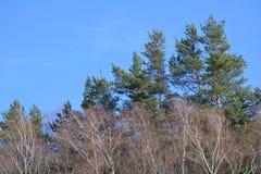 Árboles del pino y de abedul Fotografía de archivo
