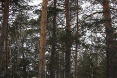 Árboles del pino y de abedul en el parque 30421 Foto de archivo