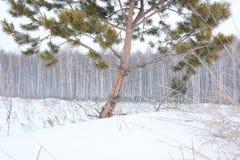 Árboles del pino y de abedul en invierno Fotografía de archivo