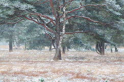 Árboles del pino y de abedul en nieve Fotos de archivo