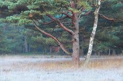 Árboles del pino y de abedul en otoño Fotos de archivo libres de regalías