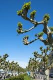 Árboles del Platanus por el lago Lemán imagen de archivo libre de regalías
