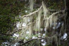 Árboles del ` s de la Patagonia cubiertos con el musgo y el liquen, Tierra del Fuego Imágenes de archivo libres de regalías